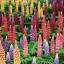 รัสเซล ลูปิน - คละสี - Mix Russell Lupin Flower thumbnail 1