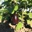 มะเขือม่วงยักษ์ - Giant Purple Eggplant thumbnail 3