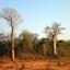 ต้นไม้ยักษ์(เบาบับ)พันธุ์ซ่า - Adansonia Za Baobab thumbnail 5
