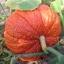 ฟักทองสีแดง - Red warty thing pumpkin thumbnail 4