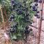 มะเขือเทศสีม่วง - Purple Tomato thumbnail 4