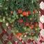 มะเขือเทศทรัมบลิ้งทอมสีแดง - Red Tumbling Tom Tomato F1 thumbnail 3