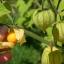 แคปกูสเบอรี่ - Cape gooseberry thumbnail 4