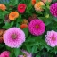 (Whole 1 Oz) ดอกบานชื่น คละสี - Mixed CA Zinnia Flower thumbnail 3