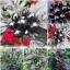 พริกประดับ ไข่มุกดำ - Black Pearl Pepper F1 thumbnail 5