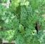 (Whole 1 Oz) ผักคะน้าเคลไซบีเรียน - Siberian Dwarf Kale thumbnail 1