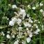 """ดอกไม้ป่า """"ไวท์ แคมเปี้ยน"""" 30 เมล็ด/ชุด thumbnail 1"""