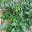 มะเขือเทศกรีน ซอเสจ - Green sausage tomato thumbnail 3