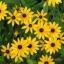 ดอกแบล็คอายซูซาน - Black Eyed Susan Flower thumbnail 1