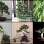 สนซีด้าร์แดงญี่ปุ่น 5เมล็ด/ชุด thumbnail 1