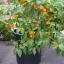 พริกสกอตช์บอนเนต - Orange Scotch Bonnet Pepper thumbnail 2