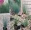 หญ้าจังคัส บลูแอร์โรว 5เมล็ด/ชุด thumbnail 1