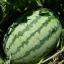แตงโมไร้เมล็ด พันธฺุ์ สวีทอีท F1 thumbnail 2