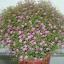 ดอกยิมโซ สีชมพู - Pink Gypsophila thumbnail 1
