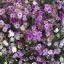 ดอกอิมมอร์เทล 20 เมล็ด/ชุด thumbnail 1