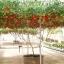 มะเขือเทศต้นอิตาเลี่ยน - Italian Tree Tomato thumbnail 3