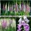 ฟ็อกซ์โกล์ฟ - Foxglove Flower Mix thumbnail 3