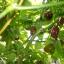 พริกฮาบาเนโร่สีน้ำตาล - Chocolate Habanero Pepper thumbnail 4