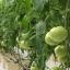 มะเขือเทศ มาร์แมนด์ - Marmande Tomato thumbnail 3