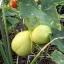 แตงกวาเลม่อน - Lemon Cucumber thumbnail 2