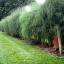 (Whole 1 Oz.) หน่อไม้ฝรั่ง พันธุ์แมรี่วอชิงตัน - Mary Washington Asparagus thumbnail 3