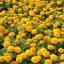 ดอกดาวเรืองคละสี - Mixed Marigold Flower thumbnail 3