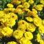 ดอกคาเลนดูล่า สีเหลือง - Calendula Bon Bon Yellow Flower thumbnail 2