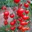 มะเขือเทศหวานสวีทแอพเพอริทิฟ - Sweet Aperitif Tomato F1 thumbnail 1