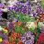 ดอกลินาเรีย คละสี 10เมล็ด/ชุด thumbnail 1