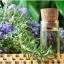 โรสแมรี่ - Rosemary Herb thumbnail 2