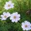 (Whole 1 Oz) ดาวกระจายสีขาว - White Cosmos Flower thumbnail 3