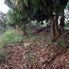 ที่ดิน (สวนผลไม้) 2 ไร่ ซอยเทียนดัด สามพราน กระทุ่มแบน สมุทรสาคร