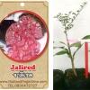 <<<<สั่งซื้อ>>>>ต้นมะนาวคาเวียร์เสียบยอดสายพันธุ์ Jali Red size S
