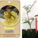 <<<<สั่งซื้อ>>>ต้นมะนาวคาเวียร์เสียบยอดสายพันธุ์ Emma size S