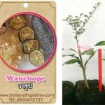 <<<<สั่งซื้อ>>>ต้นมะนาวคาเวียร์เสียบยอดสายพันธุ์ Wauchope size S