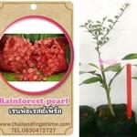 <<<<สั่งซื้อ>>>ต้นมะนาวคาเวียร์เสียบยอดสายพันธุ์ RainForest Pearl fingerlime Size S