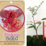 <<<<สั่งซื้อ>>>ต้นมะนาวคาเวียร์เสียบยอดสายพันธุ์ pink ice size S