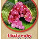 ต้นมะนาวคาเวียร์เสียบยอดสายพันธุ์ Littile Ruby Size M