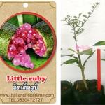 <<<<สั่งซื้อ>>>ต้นมะนาวคาเวียร์เสียบยอดสายพันธุ์ Little Ruby fingerlime Size S
