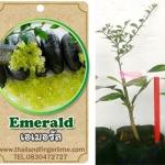 <<<<สั่งซื้อ>>>ต้นมะนาวคาเวียร์เสียบยอดสายพันธุ์ D'Emeral Fingerlime Size S