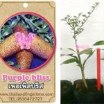 <<<<สั่งซื้อ>>>ต้นมะนาวคาเวียร์เสียบยอดสายพันธุ์ Purple Bliss size S