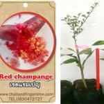 <<<<สั่งซื้อ>>>>ต้นมะนาวคาเวียร์เสียบยอดสายพันธุ์ red champagne size S