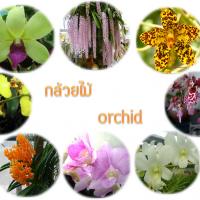 สายพันธุ์กล้วยไม้ < Orchid >