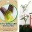 <<<<สั่งซื้อ>>>ต้นมะนาวคาเวียร์เสียบยอดสายพันธุ์ green alstonville size S thumbnail 1