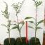 <<<<สั่งซื้อ>>>>ต้นมะนาวคาเวียร์เสียบยอดสายพันธุ์ Mia rose size S thumbnail 2