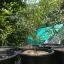 ต้นมะนาวคาเวียร์เสียบยอดสายพันธุ์ Red Champange Size L thumbnail 2