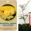 <<<<สั่งซื้อ>>>ต้นมะนาวคาเวียร์เสียบยอดสายพันธุ์ Sunshine Yellow size S thumbnail 1