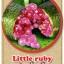 ต้นมะนาวคาเวียร์เสียบยอดสายพันธุ์ Littile Ruby Size M thumbnail 1