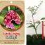 <<<<สั่งซื้อ>>>ต้นมะนาวคาเวียร์เสียบยอดสายพันธุ์ Little Ruby fingerlime Size S thumbnail 1