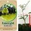 <<<<สั่งซื้อ>>>ต้นมะนาวคาเวียร์เสียบยอดสายพันธุ์ D'Emeral Fingerlime Size S thumbnail 1